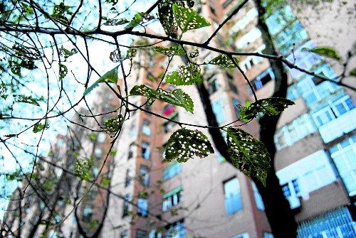 Hojas afectadas por plaga de insecto. /FOTO: R.B.T.